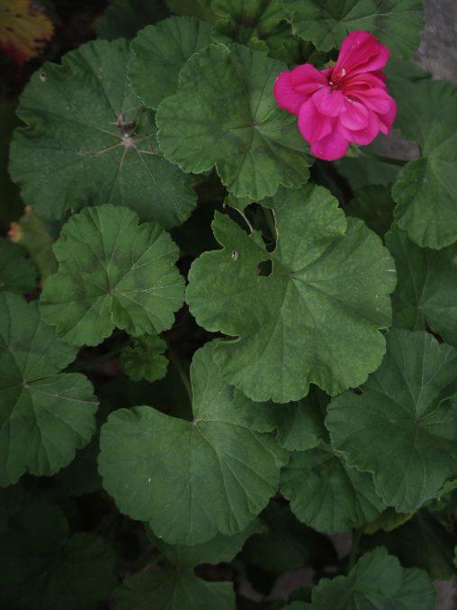 モンテンジクアオイ – Pelargonium Zonale