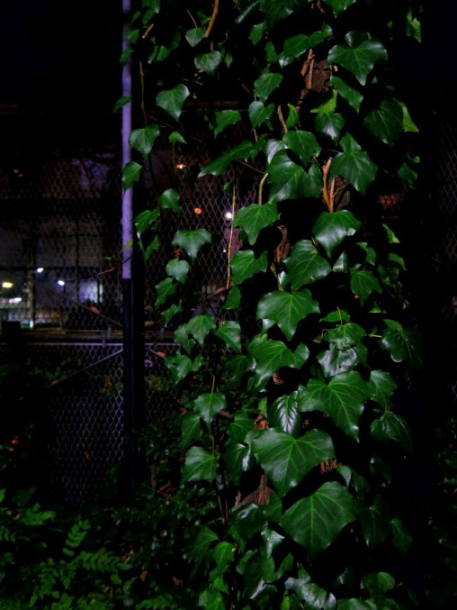 夜の蔦 – Ivy