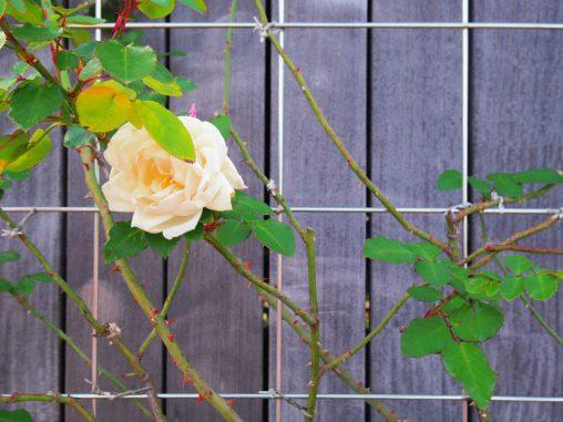 淡黄色のバラ – Yellow Rose