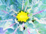 ロマネスコ – Romanesco Broccoli