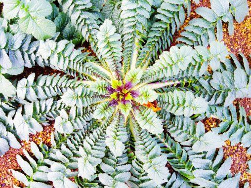 大根の葉 – Radish leaf