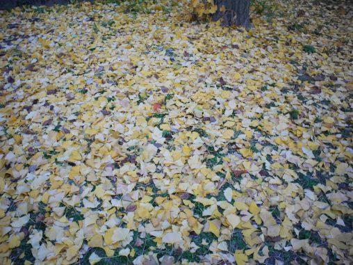 イチョウの絨毯 – Fallen leaves
