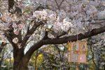花に行灯 – Sakura with lantern