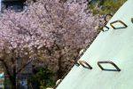 散り始め – Sakura in park
