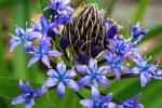 オオツルボ – Cuban lily