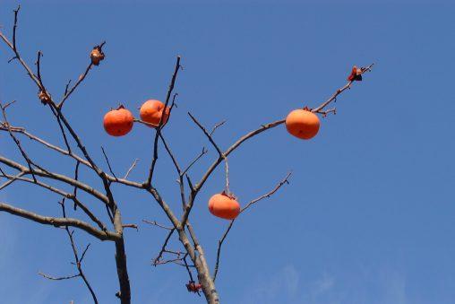 柿 – Japanese persimmon