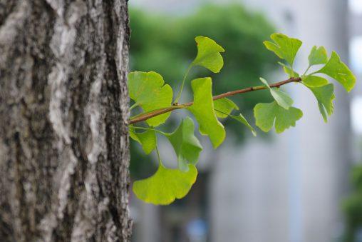 イチョウの胴吹き – Epicormic branch