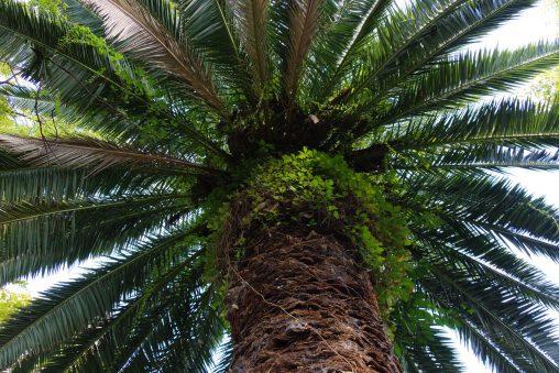 ソテツ – Fern Palm