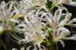 ヒガンバナ群 – Spider lilies