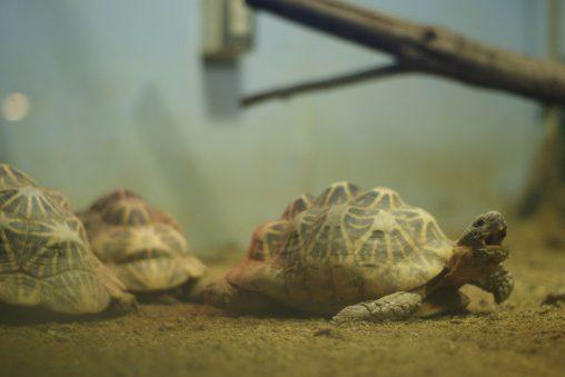 インドホシガメ – Indian starred tortoise