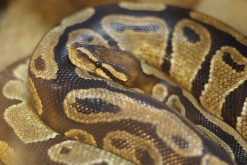 ボールニシキヘビ – Royal python