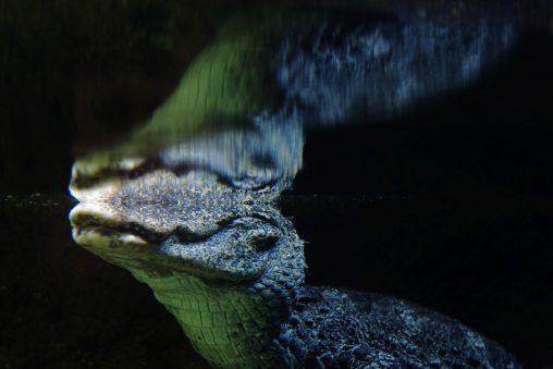 水中のヨウスコウワニ – Chinese alligator