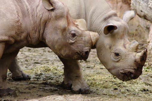顔を寄せ合うクロサイ – Black rhinoceros