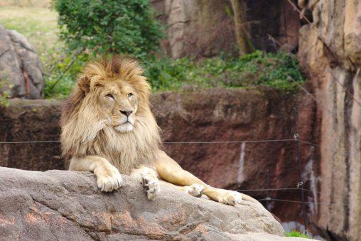 くつろぎライオン – Lion