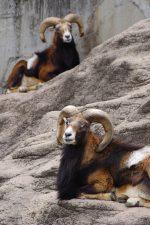 ムフロン – Two Mouflons