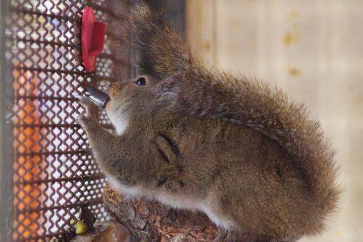 水飲みニホンリス – Japanese squirrel