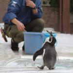 取った! – Humboldt Penguin