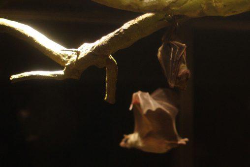 エジプトルーセットオオコウモリ – Egyptian fruit bat