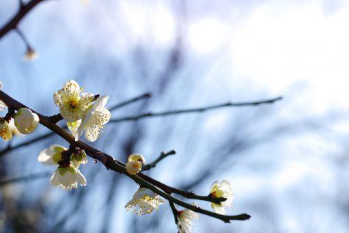 空と梅のあいだに – Plum flower