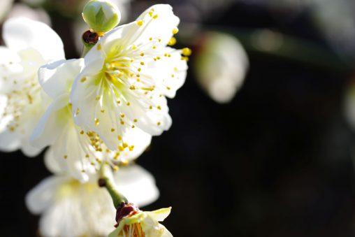 白と黒 – White plum flower