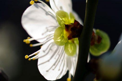 梅の裏 – Backside of plum flower