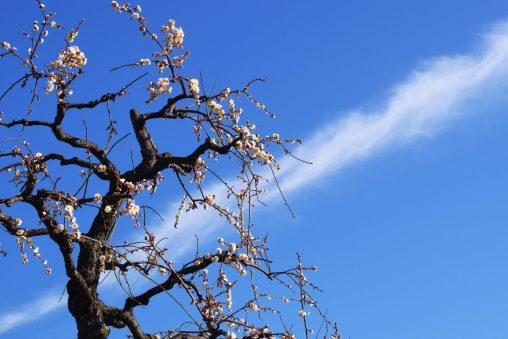 梅と飛行機雲 – Plum and Contrail