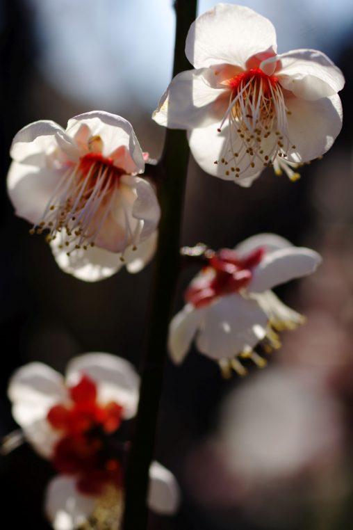 ほの赤い – Red plum flowers