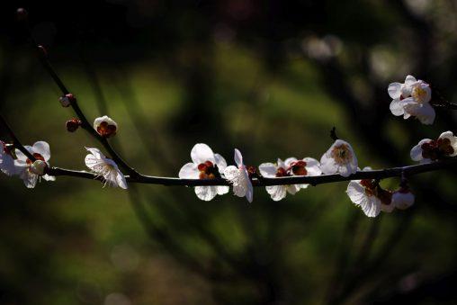 横一文字 – Plum flowers