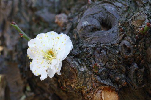 胴吹き – Epicormic plum flower