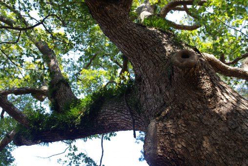古木 – Old tree