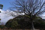 天守台の大樹 – Great tree on foundation