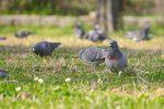 ハトの歩み – Walking pigeon