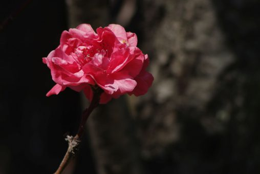桃花一輪 – Peach blossom