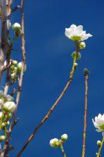 先開き – Peach blossom