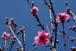 桃花 – Peach blossom