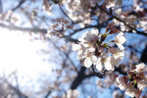 逆光桜 – Sakura