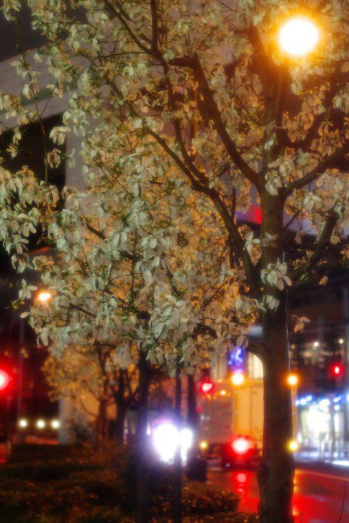 街路のコブシ – Kobushi magnolia