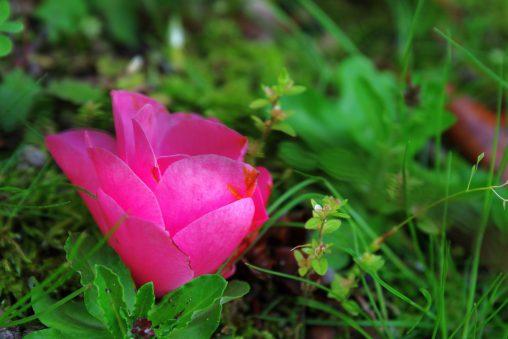 最後の椿 – Last Camellia