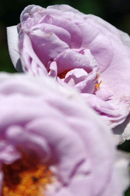 バラ(ブルーバユー) – Rose (Blue bajou)