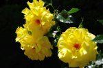 バラ(黄金) – Rose (Gold)