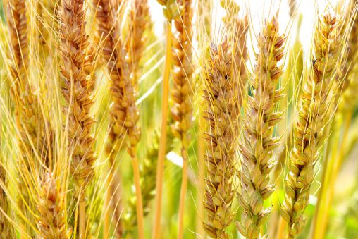 黄金の麦 – Wheat gold