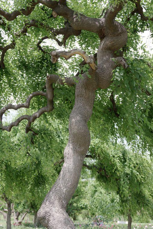 ねじれ – Twisted tree