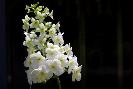 カシワバアジサイ – Hydrangea quercifolia