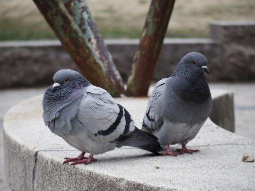 ハト – Pair of Pigeons