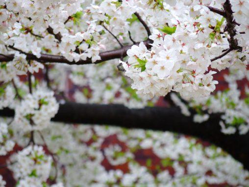 自粛下の桜 – Sakura