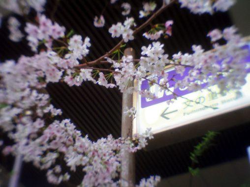 文の里駅前の桜 – Sakura at Fuminosato Station