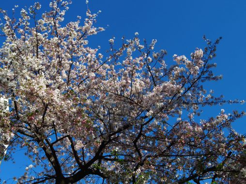 快晴と桜 – Sakura with bluesky