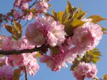 八重桜 – Double-flowered