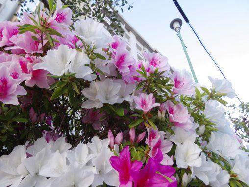 団地を飾るツツジ – Flowered Housing complex
