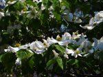 ハナミズキ – Flowering dogwood